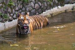 Εικόνες μιας νέας τίγρης Sumatran Στοκ φωτογραφίες με δικαίωμα ελεύθερης χρήσης