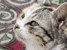 Εικόνες της γάτας που κοιτάζει στις διαφορετικές κατευθύνσεις, γάτα που περιμένουν το θήραμα, μάτια γατών, στοκ εικόνα με δικαίωμα ελεύθερης χρήσης