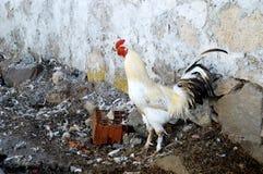 Εικόνες των εσωτερικών κοκκόρων, εικόνες του κόκκορα και κοτόπουλα, τις εικόνες των φυσικών οργανικών του χωριού κοτόπουλων, φυσι Στοκ Εικόνες