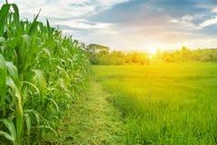 Εικόνες των τομέων καλαμποκιού και των τομέων ρυζιού το πρωί Στοκ εικόνες με δικαίωμα ελεύθερης χρήσης