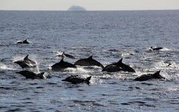 Ειρηνικά κοινά δελφίνια Στοκ φωτογραφίες με δικαίωμα ελεύθερης χρήσης