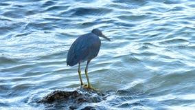 Ειρηνικά κυνήγια ερωδιών σκοπέλων για τα ψάρια απόθεμα βίντεο