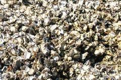 Ειρηνικά στρείδια που αυξάνονται στο βράχο στον ωκεανό Στοκ Φωτογραφίες