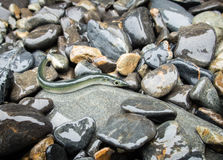 Ειρηνικά ψάρια λογχών άμμου στην ακτή σε Seward, Αλάσκα Στοκ εικόνες με δικαίωμα ελεύθερης χρήσης
