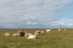 Ειρηνική άποψη των βοοειδών στήριξης Στοκ Εικόνες
