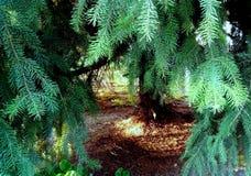 Ειρηνική θέση κάτω από το ασημένιο δέντρο έλατου στοκ εικόνα