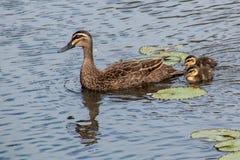 Ειρηνική μαύρη πάπια με τα duclings Στοκ εικόνες με δικαίωμα ελεύθερης χρήσης