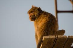 Ειρηνικός πίθηκος Στοκ Εικόνα