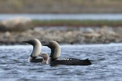 Ειρηνικός χωριάτης ή ειρηνικός δύτης με έναν νέο νεοσσό στα αρκτικά νερά στοκ εικόνα