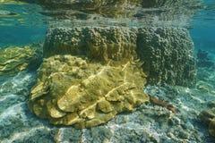 Ειρηνικός Ωκεανός κοραλλιών ρυζιού ζωής θάλασσας και κοραλλιών λοβών Στοκ Εικόνες