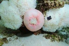 Ειρηνικός Ωκεανός Heteractis Magnifica anemone θάλασσας Στοκ εικόνες με δικαίωμα ελεύθερης χρήσης