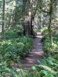 Ειρηνικό ίχνος μεταξύ των φτερών και redwoods στην κυρία Bird Johnson Grove κοντά σε Orick, Καλιφόρνια Στοκ Εικόνες