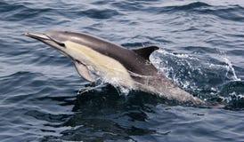 Ειρηνικό κοινό δελφίνι Στοκ Εικόνα