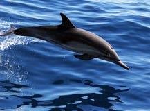 Ειρηνικό κοινό δελφίνι Στοκ εικόνες με δικαίωμα ελεύθερης χρήσης