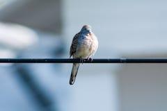 Ειρηνικό περιστέρι Στοκ φωτογραφία με δικαίωμα ελεύθερης χρήσης