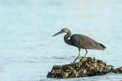 Ειρηνικό πουλί τσικνιάδων σκοπέλων [ιερά οστά Egretta] Στοκ φωτογραφία με δικαίωμα ελεύθερης χρήσης