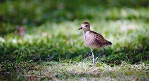Ειρηνικό χρυσό άγριο πουλί Oahu Haiwaii ζωικό Wildllife βροχοπουλιών Στοκ Εικόνες