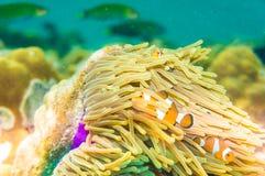 Ειρηνικό Clownfish σε ένα ζωηρόχρωμο πορφυρό anemone οικοδεσποτών Στοκ φωτογραφία με δικαίωμα ελεύθερης χρήσης