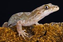 Ειρηνικό pacificus Dactylocnemis gecko στοκ εικόνα