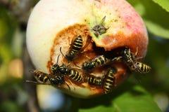 Εισβολή σφηκών στη συγκομιδή μήλων Στοκ Εικόνες