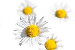 Ειδυλλιακά wildflowers θερινών λιβαδιών - άσπρη μαργαρίτα που απομονώνεται Στοκ Φωτογραφίες