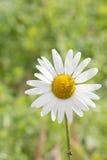 Ειδυλλιακά wildflowers θερινών λιβαδιών - μαργαρίτα Στοκ Εικόνα