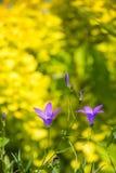 Ειδυλλιακά wildflowers θερινών λιβαδιών - campanula Στοκ Φωτογραφίες