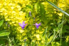 Ειδυλλιακά wildflowers θερινών λιβαδιών - campanula Στοκ εικόνα με δικαίωμα ελεύθερης χρήσης