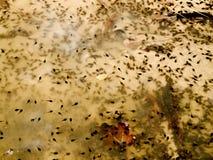 Εκατοντάδες των γυρίνων στο στάσιμο νερό Στοκ Φωτογραφίες