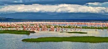 Εκατοντάδες των ρόδινων φλαμίγκο που στέκονται σε μια λίμνη στην Κένυα Στοκ Εικόνα