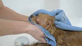 Εκείνο το τεριέ πλένεται σε ένα λουτρό Ο όγκος είναι μεγάλος και άσπρος Τα σκυλιά πλένονται συνεχώς μετά από την οδό Χρησιμοποίησ απόθεμα βίντεο