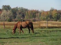 εκθρέψτε το άλογο Στοκ Εικόνα
