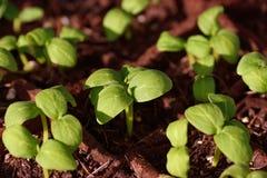εκκινητής φυτών Στοκ εικόνες με δικαίωμα ελεύθερης χρήσης