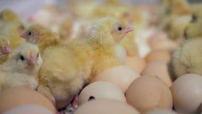 Εκκολαμμένο κοτόπουλο μωρών κλείστε επάνω 4K φιλμ μικρού μήκους
