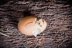 εκκόλαψη αυγών Στοκ Φωτογραφίες