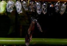 Εκκόλαψη πεταλούδων από τις χρυσαλίδες και τη χρυσαλίδα στοκ φωτογραφία