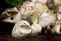 Εκκόλαψη Python από το αυγό Στοκ φωτογραφία με δικαίωμα ελεύθερης χρήσης