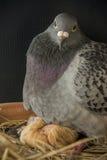 Εκκόλαψη πουλιών περιστεριών νέα - γεννημένος στην εγχώρια σοφίτα Στοκ Εικόνες
