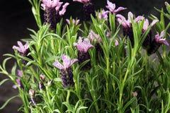 Εκλεκτής ποιότητας δοχείο λουλουδιών ύφους και σε δοχείο lavender εγκαταστάσεις Στοκ φωτογραφίες με δικαίωμα ελεύθερης χρήσης