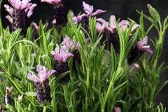 Εκλεκτής ποιότητας δοχείο λουλουδιών ύφους και σε δοχείο lavender εγκαταστάσεις Στοκ Φωτογραφία
