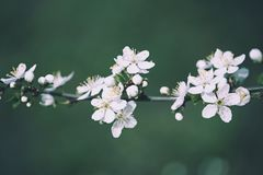 Εκλεκτής ποιότητας λουλούδια δαμάσκηνων στοκ φωτογραφία