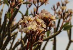 Εκλεκτής ποιότητας τόνος Plumeria στο δέντρο plumeria Στοκ φωτογραφία με δικαίωμα ελεύθερης χρήσης