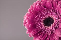 Εκλεκτής ποιότητας όμορφο ενιαίο κεφάλι λουλουδιών μαργαριτών gerbera στις πτώσεις νερού Ευχετήρια κάρτα για την ημέρα γενεθλίων, Στοκ Φωτογραφία