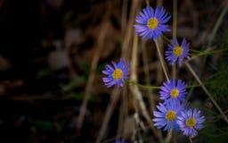 Εκλεκτική εικόνα εστίασης στο καθαρό πορφυρό λουλούδι με το σκοτεινό blackgroun Στοκ Εικόνες