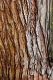 Εκλεκτική εστίαση κινηματογραφήσεων σε πρώτο πλάνο σύστασης φλοιών δέντρων Καφετιά ξύλινη χρήση φλοιών ως φυσικό υπόβαθρο φλοιός  Στοκ Εικόνες