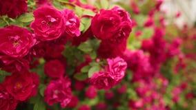 Εκλεκτική εστίαση στα όμορφα τριαντάφυλλα στον κήπο απόθεμα βίντεο
