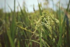 Εκλεκτική εστίαση στις εγκαταστάσεις ρυζιού και υπόβαθρο με τον πράσινο τομέα Στοκ φωτογραφία με δικαίωμα ελεύθερης χρήσης