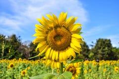 Εκλεκτική εστίαση στους ηλίανθους ανθών στον τομέα φυτειών με το υπόβαθρο μπλε ουρανού σε μια ηλιόλουστη ημέρα στοκ φωτογραφίες με δικαίωμα ελεύθερης χρήσης