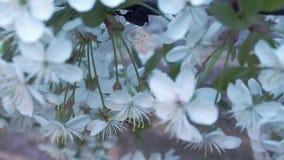 Εκλεκτική εστίαση στο δέντρο κερασιών που ανθίζει με τα άσπρα λουλούδια Τα άσπρα λουλούδια και τα πράσινα φύλλα στον κλάδο sakura απόθεμα βίντεο