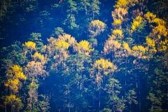 Εκλεκτική εστίαση: Όμορφο Rhododendron δέντρο και κίτρινα φύλλα στο μπλε δασικό υπόβαθρο στοκ εικόνα με δικαίωμα ελεύθερης χρήσης